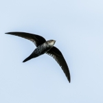Cook's Swift