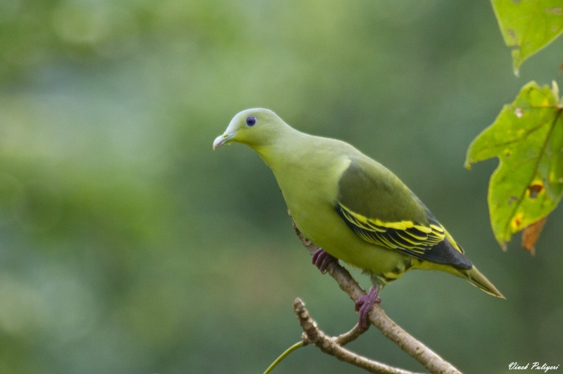 Grey-fronted Green Pigeon
