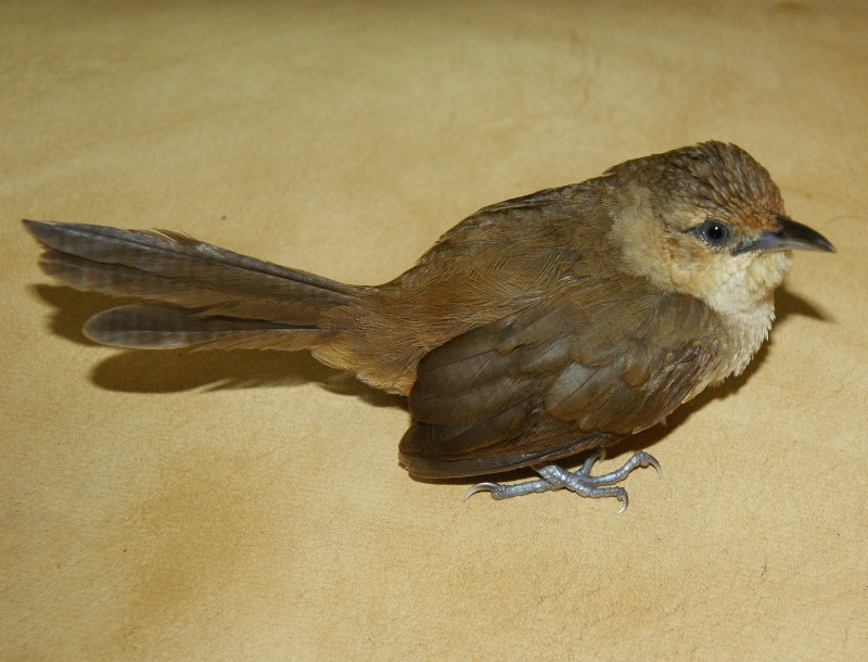 Plain Thornbird