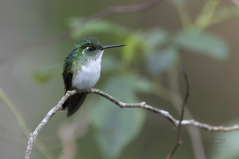 White-bellied Mountaingem