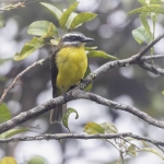 Golden-bellied Flycatcher