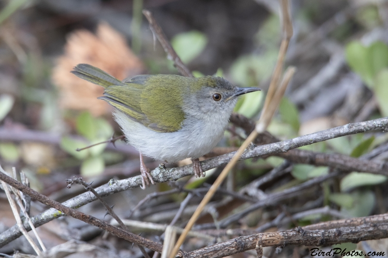 Green-backed Camaroptera