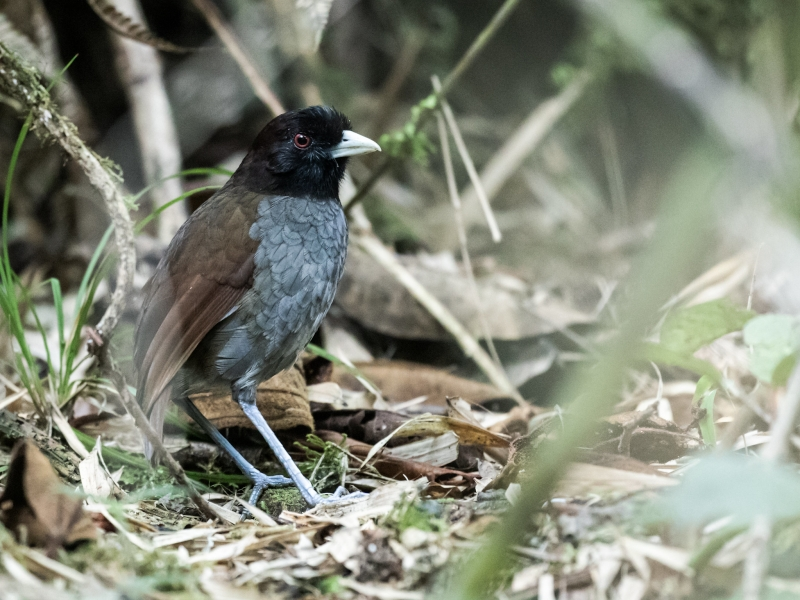 Pale-billed Antpitta