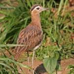 Stone Curlews, Thick-knees