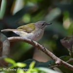 Green-backed Gerygone