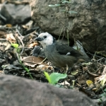 White-headed Brushfinch