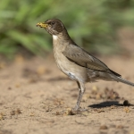 Creamy-bellied Thrush