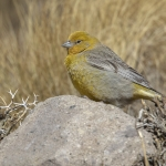 Greater Yellow Finch