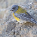 Grey-hooded Sierra Finch