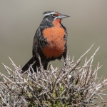 Long-tailed Meadowlark