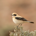 Western Black-eared Wheatear