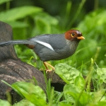 Chestnut-hooded Laughingthrush
