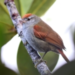 Tepui Spinetail