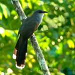 Chestnut-bellied Cucko