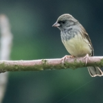 Black-faced Bunting