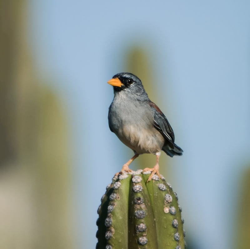 Little Inca Finch