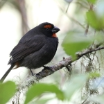 Greater Antillean Bullfinch