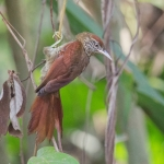 Scaled Spinetail