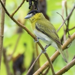 Yellow-cheeked Becard