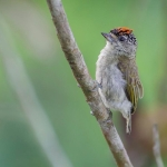 Fine-barred Piculet