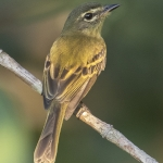 Large-headed Flatbill
