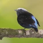 Blue-rumped Manakin
