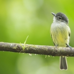 Yellow-margined Flatbill