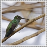 Glittering-throated Emerald