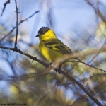 Yellow-faced Siskin