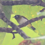 Seram White-eye