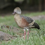 Plumed Whistling Duck
