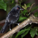 White-shouldered Fire-eye