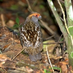 Spot-winged Wood Quail
