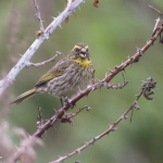 Yellow-browed Seedeater