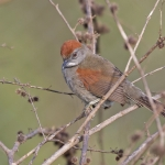 Cinereous-breasted Spinetail