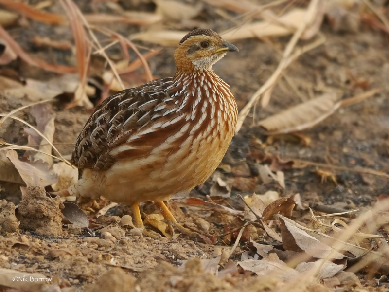 White-throated Francolin