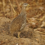 Double-spurred Spurfowl