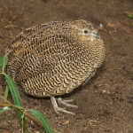 Madagascan Partridge