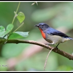 Black-sided Flowerpecker