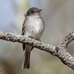 American Grey Flycatcher