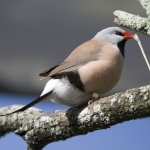 Long-tailed Finch