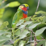 Edwards's Fig Parrot