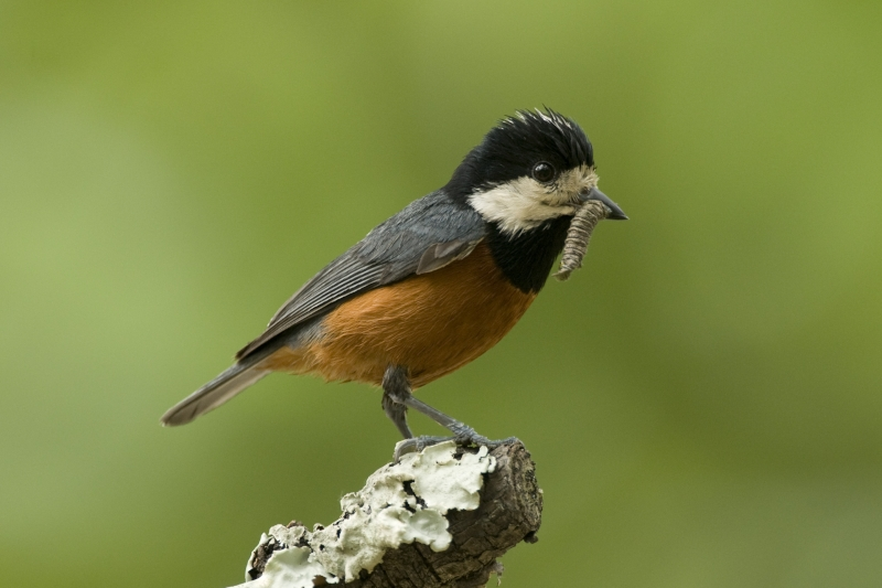 Chestnut-bellied Tit