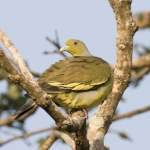 Orange-breasted Green Pigeon