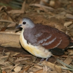 Cinnamon Ground Dove