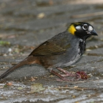 White-eared Ground Sparrow