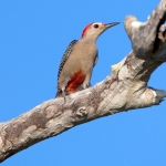 Velasquez's Woodpecker
