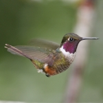 Magenta-throated Woodstar