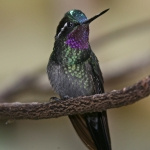 Purple-throated Mountaingem