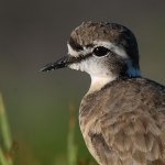 Kittlitz's Plover